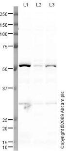 Western blot - Anti-Testin antibody (ab78499)