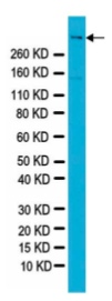 Western blot - Anti-Reelin antibody [G10] (ab78540)