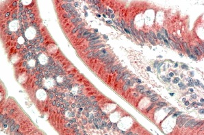 Immunohistochemistry (Formalin/PFA-fixed paraffin-embedded sections) - Anti-C18orf8 antibody (ab78596)