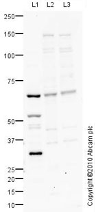 Western blot - Anti-Poly(A) RNA polymerase, mitochondrial antibody (ab78618)