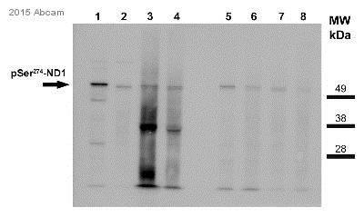 Western blot - Anti-NeuroD1 (phospho S274) antibody (ab78900)