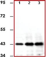 Immunoprecipitation - Anti-ERK1 antibody [E19] (ab78918)