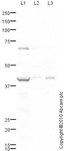 Western blot - Anti-ACADS antibody (ab79169)