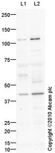 Western blot - Anti-LUC7L2 antibody (ab79232)