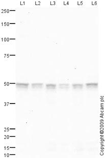 Western blot - Anti-RNPS1 antibody (ab79233)