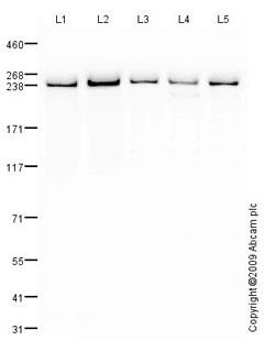 Western blot - Anti-PRPF8 antibody (ab79237)