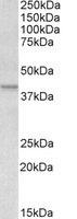 Western blot - Anti-Apolipoprotein L 1 antibody (ab79282)