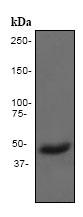 Western blot - Anti-Pax2 antibody [EP3251] (ab79389)