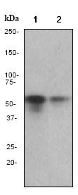 Western blot - Anti-TdT antibody [EPR2975] (ab79395)