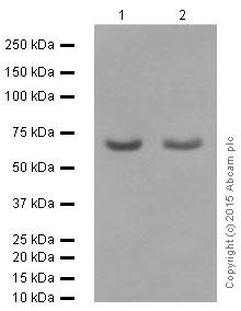 Western blot - Anti-RPA70 antibody [EPR3472] (ab79398)