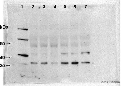 Western blot - Anti-PAQR5 antibody (ab79517)