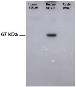 Western blot - Anti-Bovine Serum Albumin antibody [1C12] (ab79827)