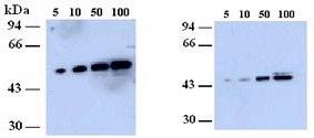 Western blot - Anti-NEK2 antibody (ab79903)