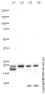 Western blot - Myosin Light Chain 2 antibody (ab79935)