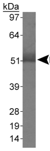 Western blot - Anti-Macrophage Scavenger Receptor I antibody (ab79940)