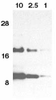 Western blot - Anti-Eotaxin antibody (ab8018)