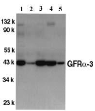 Western blot - GFR alpha 3 antibody (ab8028)