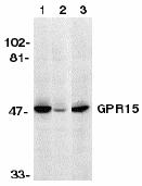 Western blot - Anti-GPCR GPR15 antibody (ab8104)