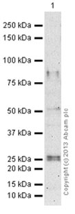 Western blot - Anti-CD34 antibody [MEC 14.7] - Hematopoietic Stem Cell Marker (ab8158)