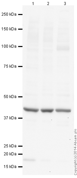 Western blot - Anti-beta Actin [mAbcam 8226] antibody (ab8226)