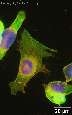 Immunocytochemistry/ Immunofluorescence - Anti-beta Actin antibody - Loading Control (ab8229)