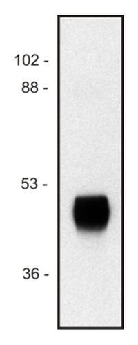 Western blot - Anti-HRP antibody [HP-03] (ab8326)