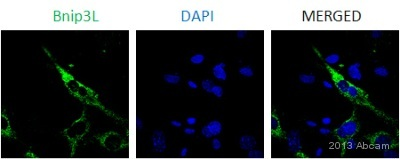 Immunocytochemistry/ Immunofluorescence - Anti-BNIP3L antibody (ab8399)
