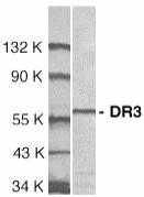 Western blot - Anti-DR3 antibody (ab8412)