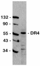 Western blot - Anti-DR4 antibody (ab8414)