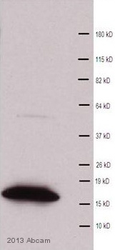 Western blot - Anti-Histone H3 (tri methyl K9) antibody - ChIP Grade (ab8898)