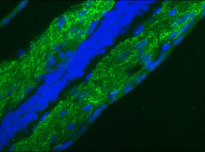 Immunohistochemistry (Frozen sections) - Anti-Lamin B1 antibody [119D5-F1] - Nuclear Envelope Marker (ab8982)