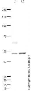 Western blot - Anti-Protor-1 antibody (ab80017)