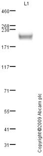 Western blot - Anti-Adenomatous polyposis coli protein 2 antibody (ab80018)