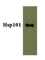 Western blot - Anti-Hsp101 antibody - N-terminal (ab80123)