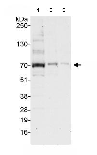 Western blot - Anti-CSTF2T antibody (ab80275)
