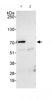 Immunoprecipitation - Anti-CSTF2T antibody (ab80275)