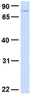 Western blot - Anti-SYDE1 antibody (ab80402)