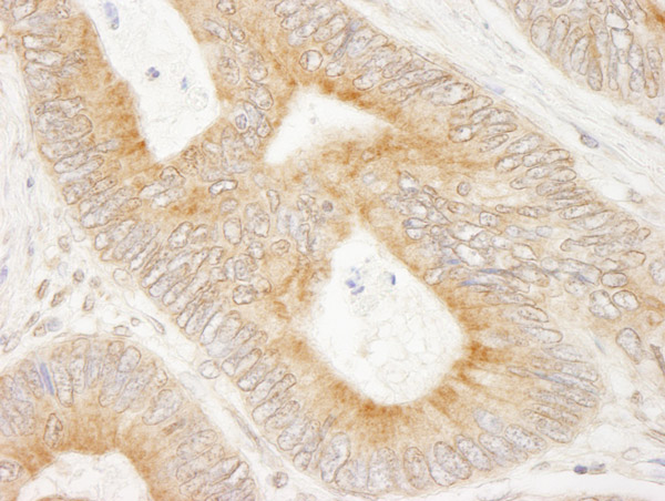 Immunohistochemistry (Formalin/PFA-fixed paraffin-embedded sections) - Anti-Ensconsin antibody (ab80416)
