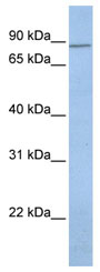 Western blot - Anti-KCNH7 antibody (ab80455)