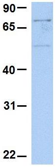 Western blot - Anti-SLC20A1 antibody (ab80465)