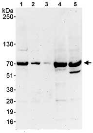 Western blot - Anti-SHP2 antibody (ab80611)