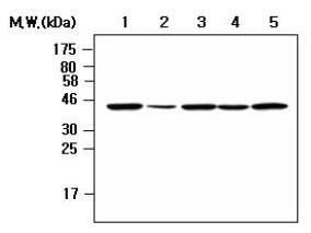 Western blot - Nck beta antibody [AF3F11] (ab80618)