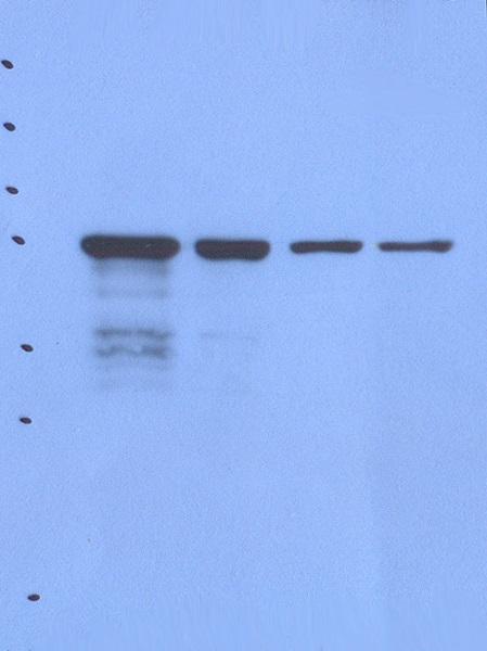 Western blot - Anti-Nck beta antibody [AF3F11] (ab80618)