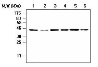 Western blot - Nck 1/2 antibody [AF6D7] (ab80620)