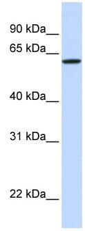 Western blot - Anti-DGCR2 antibody (ab80672)