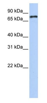Western blot - Anti-NR1D1 antibody (ab80697)
