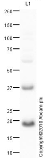 Western blot - Anti-Centrin 2 with anti-GAPDH internal loading control antibody (ab80863)