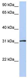 Western blot - Anti-DRG1 antibody (ab80869)