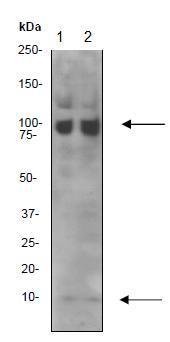 Western blot - Anti-NEDD8 antibody [Y297] (ab81264)