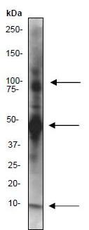 Immunoprecipitation - Anti-NEDD8 antibody [Y297] (ab81264)